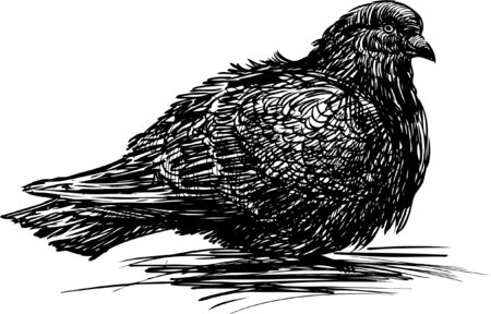 disheveled: Vector sketch of an urban pigeon.