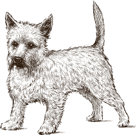 Vector drawing of a funny lap dog.