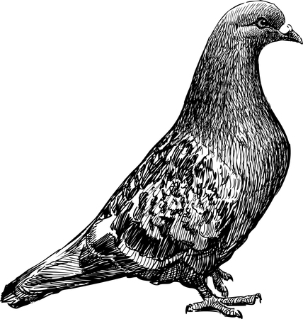 Vector drawing of a city pigeon.