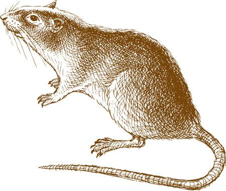 Le dessin vectoriel d'un rat dans le style d'un croquis.