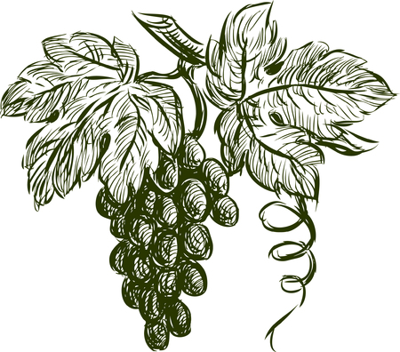 Dibujo vectorial de un racimo de uva. Foto de archivo - 80414370