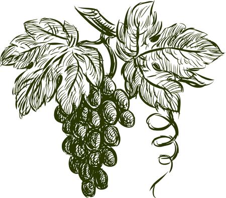 Vector tekening van een druivencluster. Vector Illustratie