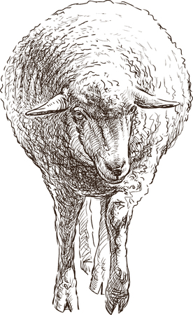 Vector drawing of a young sheep. Çizim