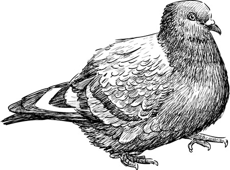 striding: Vector drawing of a striding pigeon