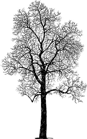 Vector drawing of a maple in winter. Illusztráció