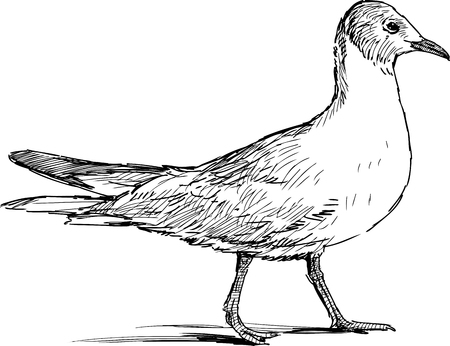 striding: Vector sketch of a sea gull. Illustration