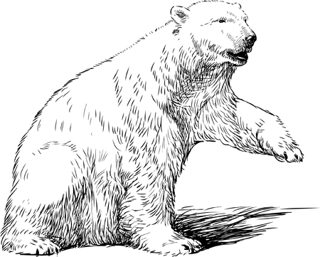 Vector drawing of a white bear