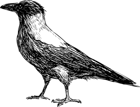 Vector sketch of a big crow.