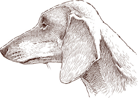 Vector sketch of the head of an old dachshund