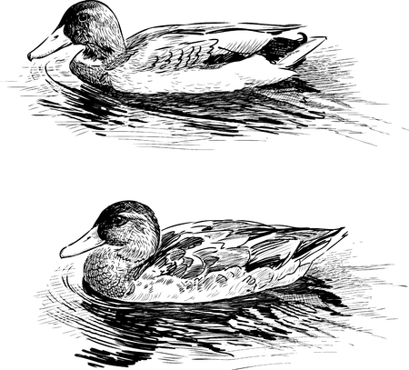 Vector image of the ducks on the water Illustration