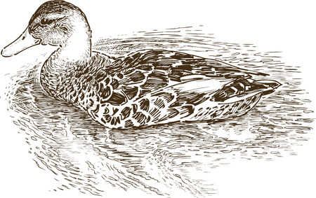 Image of a duck in a lake