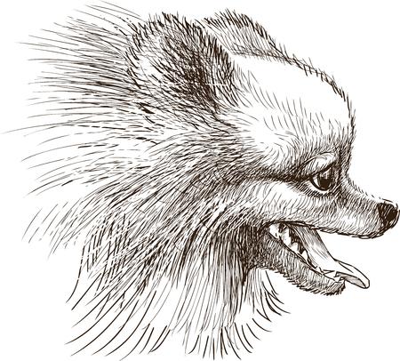 Dibujo vectorial de la cabeza spitz Ilustración de vector