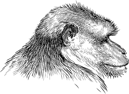 Sketch of the monkey portrait