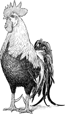 Vector drawing of a bblack and white cock.