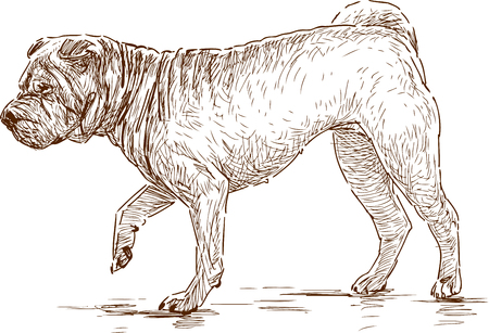 Vector drawing of a walking sharpei Illustration
