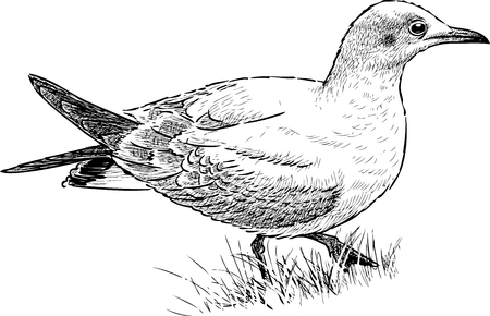 A gull on the grass Illustration