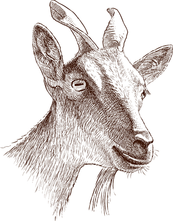 Sketch of the mountain goat head Illustration