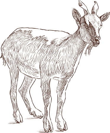 Vector drawing of a screw-horned goat.