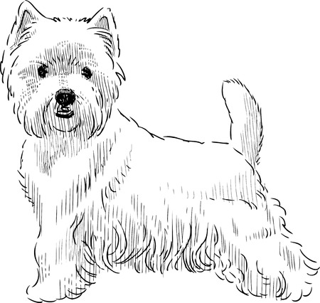 Sketch of a white scottish terrier