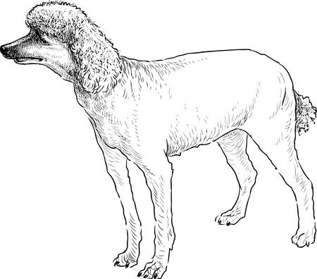 Sketch of a shorn Scottish poodle. Stok Fotoğraf - 82498320
