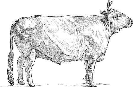Vector drawing of a bull Çizim