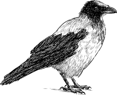 Vector sketch of a big crow Иллюстрация