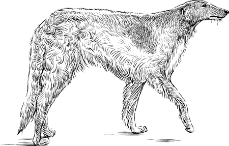 Vector sketch of a grayhound
