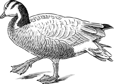 Sketch of a wild striding duck Illustration