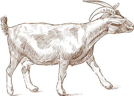 Vector drawing of a striding goat Illustration