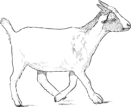 striding: Vector sketch of a goat baby