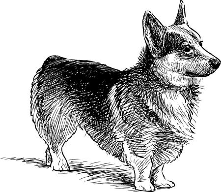 Vector drawing of a welsh corgi dog Vectores