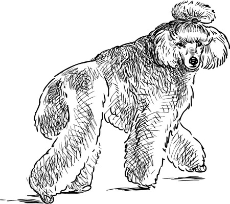 Sketch of a walking poodle