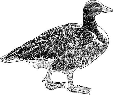 Vector sketch of a wild goose
