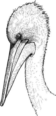 Sketch of a pelican head Ilustração