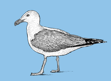 Sketch of a big seagull Vector illustration.