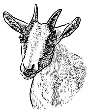 Freehand drawing of head young goat