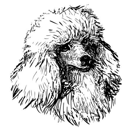 Sketch portrait of cute white poodle
