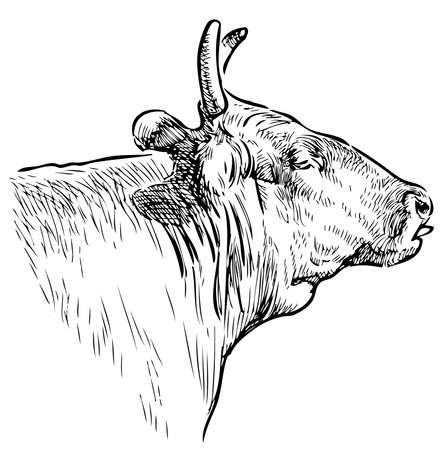 Sketch of head old domestic cow Illustration