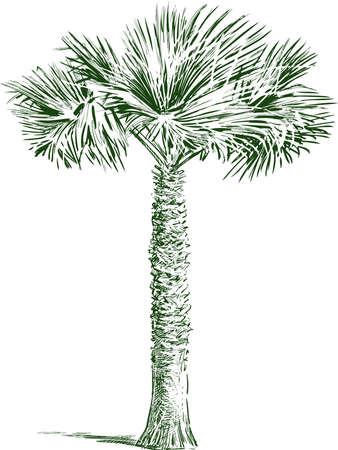 Sketch of single tropical palm tree Vectores