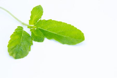 tulsi: Basil or tulsi leaves plant of Thai herb