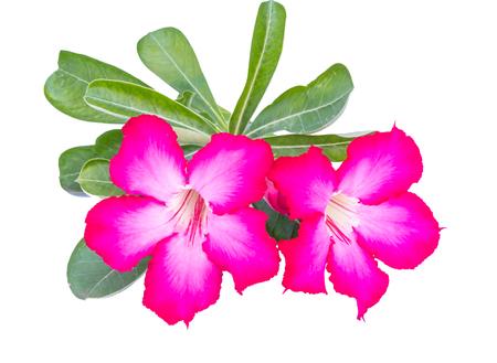Desert rose or Ping Bignonia on white background photo