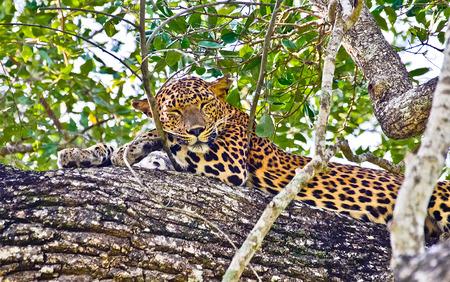 leopard skin: Sri Lankan Endemic Leopard - Panthera Pardus Kotiya