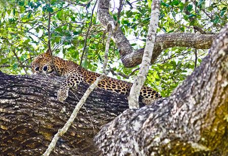 sri lankan: Sri Lankan Endemic Leopard - Panthera Pardus Kotiya