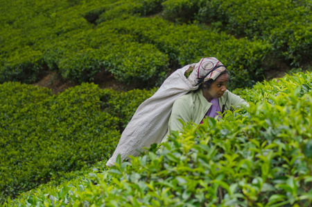 tea breaks: NUWARA ELIYA, SRI LANKA  APRIL 06: A Tamil woman from Sri Lanka breaks tea leaves on tea plantation with the traditional tea plucking method at labookellie, Sri Lanka on 06th April, 2015