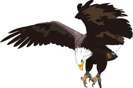 aigle royal: l'aigle royal Illustration