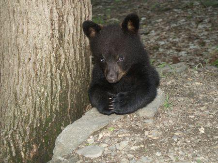 ourson: Prier Black Bear Cub