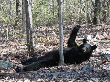 Hello, from Mr. Black Bear