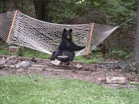 unbelievable: Black Bear Relaxing in Hammock Stock Photo