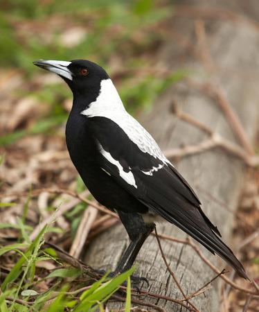 the magpie: Magpie bird Stock Photo