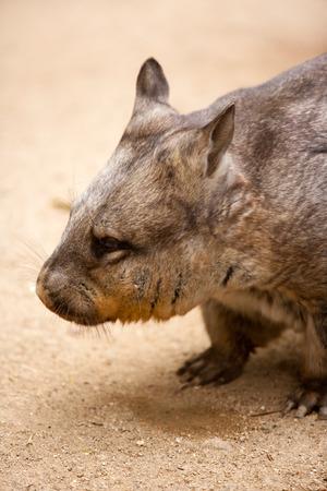 wombat: Wombat olfateado melenudo
